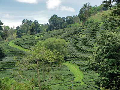 Daokrajai Tea plantation
